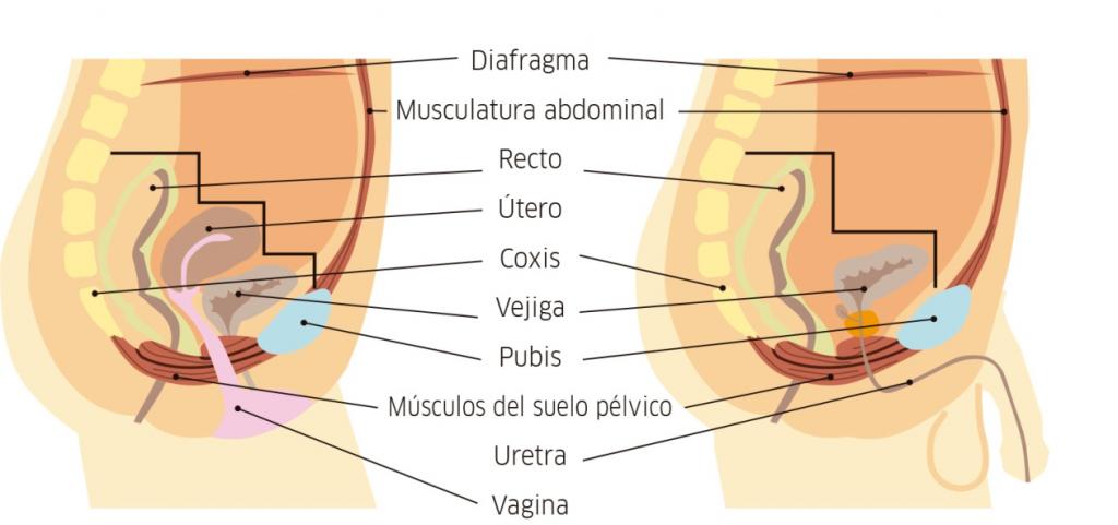 partes suelo pelvico